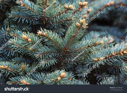 fir branches blue lush spruce branch stock photo 521468284
