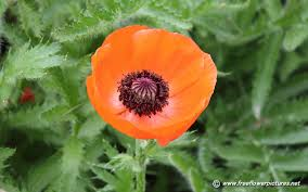 poppies flowers poppy pictures poppy flower pictures