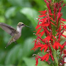 cardinal flower lobelia cardinal flower lobelia cardinalis plants select seeds