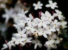 Most Fragrant Jasmine Plant - top 10 of the most fragrant flowers in the world flower gardens