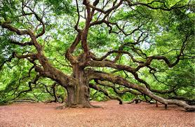 angel oak tree symbolic meaning u2013 whispers channels prophecies