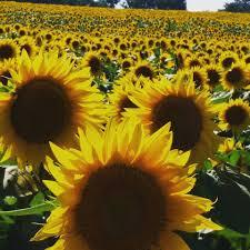 sunflowers blooming at grinter farm lawrence kansas kansas
