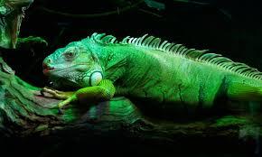 imágenes de iguanas verdes iguana verde características qué come dónde vive