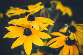 foto wallpaper bunga matahari gambar menanam daun bunga musim semi kuning flora bunga