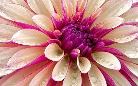 desktop new macbook pro pink flower wallpaper macrumors forums
