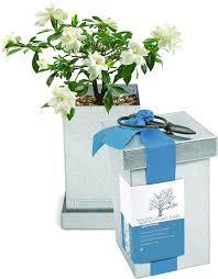 Gardenia Delivery Amazon Com Bonsai Gardenia Specimen In Recycled Steel Box Grow