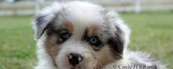 3 winds ranch australian shepherd aussies for sale circle jts