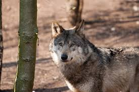 walker calls for resuming wolf hunting in wisconsin wisconsin