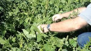 home vegetable garden farmer harvesting green beans in among the