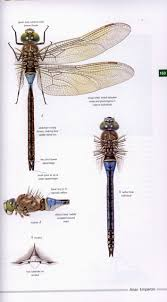 field guide to the dragonflies of britain and europe asmus
