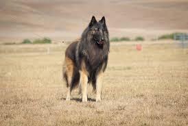 belgian sheepdog groenendael rescue beljekali u2013 belgian shepherds australia