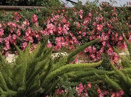 drift roses drift groundcover roses roses plants