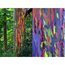 Rainbow Eucalyptus Eucalyptus Trees
