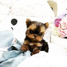 Seeking Teacup 10 Best Teacup Yorkie Images On Luxury Teacup Puppies