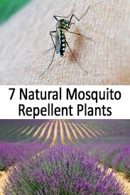 7 natural mosquito repellent plants natural mosquito repellent