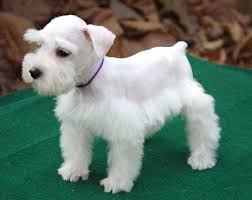 schnauzers hair cuts awww reminds me of our sweet samantha when she was a pup she s 11