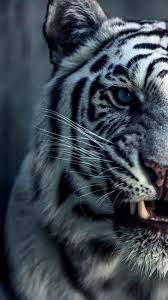 best 25 tiger wallpaper ideas on pinterest tiger pictures