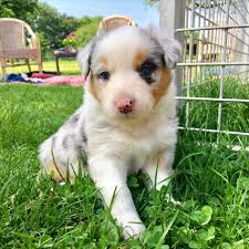 australian shepherd with german shepherd blue merle australian shepherd german shepherd mix dog and cat