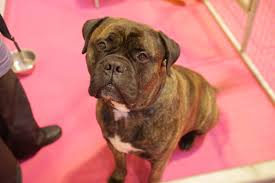 boxer dog crufts 2014 faces of crufts pounds of love