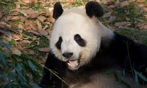 giant panda smithsonian u0027s national zoo