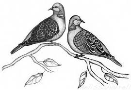 turtle dove clipart sketched pencil and in color turtle dove