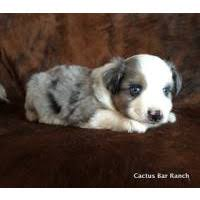 australian shepherd yorkie mix for sale local dogs u0026 puppies in missouri