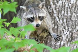 dozens of floridians bitten scratched by raccoons each year