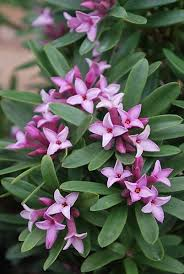 Fragrant Container Plants - 9 best fragrant plants images on pinterest fragrance container
