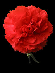 Red Carnations Post Title