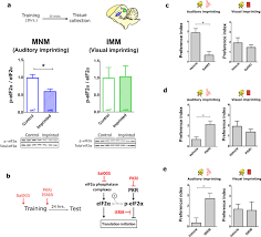 translational control of auditory imprinting and structural