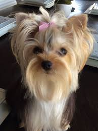 yorkie hairstyles yorkie haircut exles yorkie yorkies pinterest yorkies yorkshire terrier and