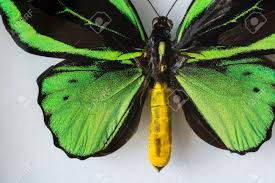 volcanic butterfly with green black wings and yellow abdomen