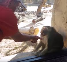 Baboon Meme - baboon amazed by card disappearing magic trick daily mail online