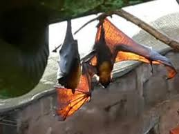 As Blind As A Bat Meaning Pteropus Wikipedia