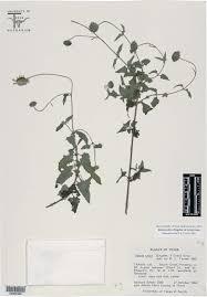 texas native plant society palafoxia to symphyotrichum