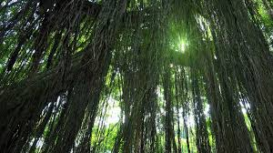 Plants That Grow In Tropical Rainforests Bright Sunlight Breaks Through Lianas Hanging From Tall Exotic