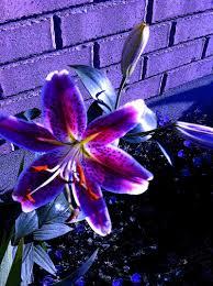 Purple Lily Flower Tiger Lily Purple Tiger Lilies Pink Tiger Lily Purple Flowers