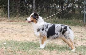 australian shepherd long tail australian shepherd dogslife dog breeds magazine