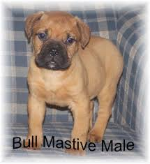 puppies for sale pa bullmastiff puppies for sale pa labradoodle puppies for sale pa