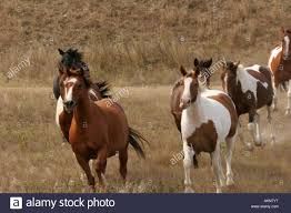 mustang horse running indian horses running in south dakota stock photo royalty free