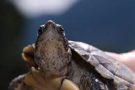 native pond plants western pond turtles oregon zoo
