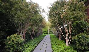 walkway trees allee walkway and path allworth design landscape