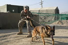 belgian shepherd malinois military military working dogs join tf currahee in afghanistan post news