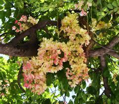 rainbow shower tree cassia x nealiae
