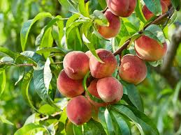 What Fruit Trees Grow In Texas - caring for your fruit tree in texas chambersville tree farm