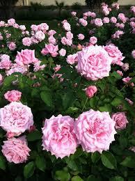 Fragrant Rose Plants - the 25 best fragrant roses ideas on pinterest david austin