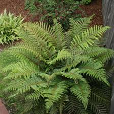 native plants of the pacific northwest ferns for every garden north coast gardening
