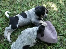 bluetick coonhound sale bluetick coonhound puppies youtube