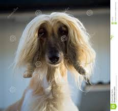 afghan hound dog pets afghan hound stock photos images u0026 pictures 80 images