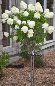 best 25 hydrangea tree ideas on hydrangea bush